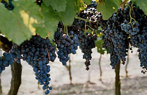 bordeaux-france_grapes